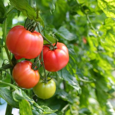 朝採り新鮮 甘熟トマト 約2.5kg 2.5kg 野菜(トマト) 通販