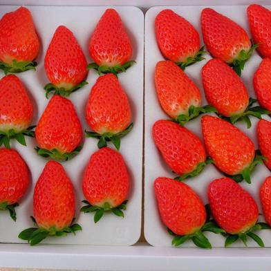 苺の贅沢セット 9粒から15粒×2トレー(1トレーあたり、約400g) 果物(いちご) 通販