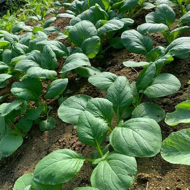 お試し!葉物6袋セット【農薬、化学肥料、除草剤不使用】 6袋 奈良県 通販