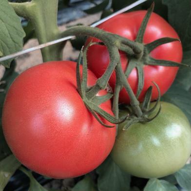 再販開始!旨味がぎゅっと詰まった小さな桃太郎トマト 3キロ(35個前後) 野菜(トマト) 通販