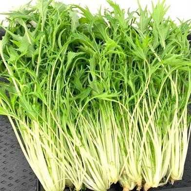 【秋冬限定!】たっぷりお野菜を食べられるシャキシャキ水耕野菜鍋セット 約1.3kg 京都府 通販