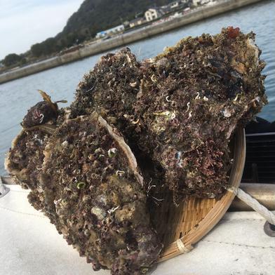 萩産 岩牡蠣 約2㌔ 山口県 通販