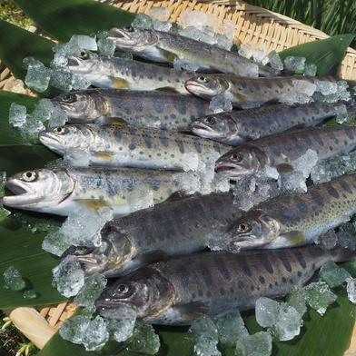 [山女 12尾入]×5箱 [岩魚 12尾入]×5箱 (合計10箱セット) 魚介類(川魚) 通販