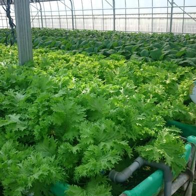 砂栽培★わさび菜 1㎏ 野菜(その他野菜) 通販