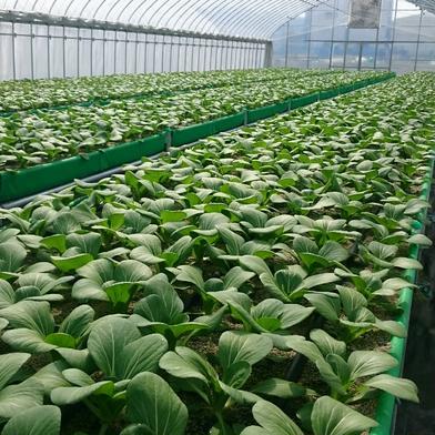 砂栽培★チンゲン菜 1㎏ 野菜(その他野菜) 通販