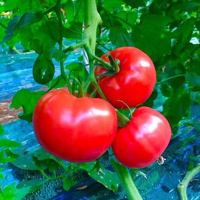 完熟桃太郎ホープ(約2kg×2箱) 約2kg×2箱 野菜(トマト) 通販