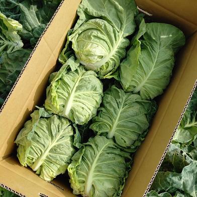 三浦の春キャベツ 1箱(6個入り) 6個入り 野菜(キャベツ) 通販