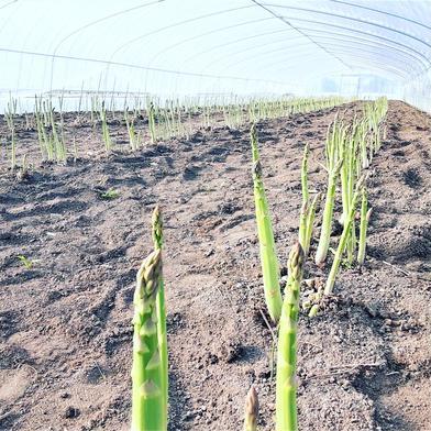 北海道到着限定/北海道産アスパラガス2L以上1kg 1kg 果物や野菜などの宅配食材通販産地直送アウル