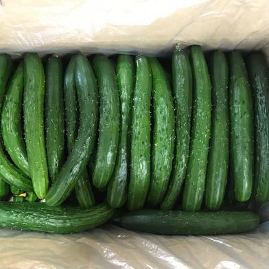 訳あり きゅうりB品 規格外 無選別 朝採り野菜 5kg 福島県 通販