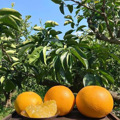10kg 八朔【はっさく】 10kg 果物(柑橘類) 通販