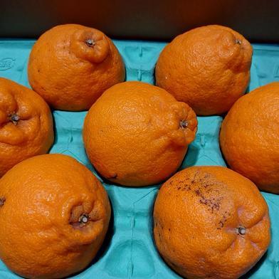 ハウス不知火 家庭用 2,5キロ 果物(柑橘類) 通販