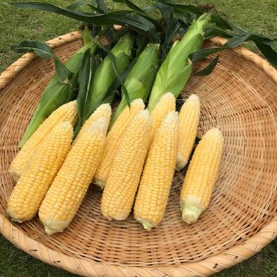 増田農園の朝採りとうもろこし(Sサイズ) 14本(約4キロ) 野菜(とうもろこし) 通販