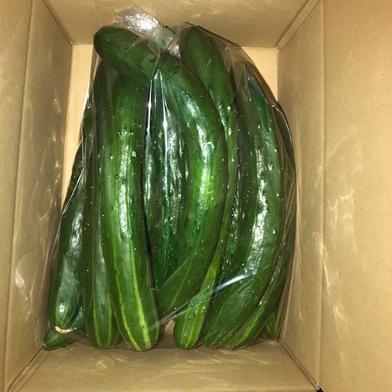 お試し 訳あり 加工用きゅうり 1kg 規格外 無選別 朝採り野菜 1kg 福島県 通販