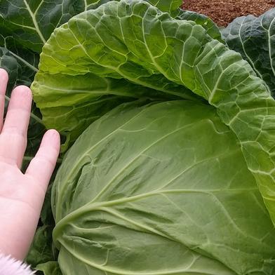 葉質の柔らかいキャベツ14キロ分 14キロ 野菜(キャベツ) 通販