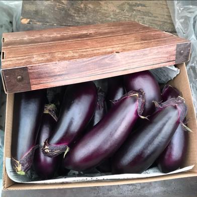 訳あり お多福野菜千両茄子 約1.5k〜 12本〜15本 野菜(茄子) 通販