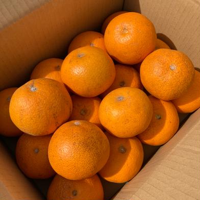 今季限定価格!5kg 小さめ【訳あり】紅八朔☆ネット販売スタート記念☆ 5kg 果物(柑橘類) 通販