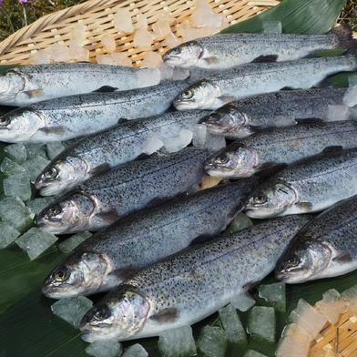 [虹鱒 ]ニジマス 12尾入 (19cmサイズ)冷凍 12尾 魚介類(川魚) 通販