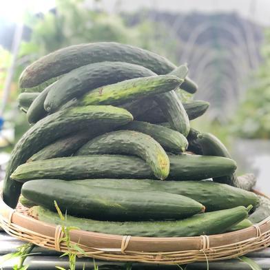 【30本】SAGAの朝採りきゅうり★山の中の大自然で愛情込めて栽培♪ 30本 ミヤハラ農園