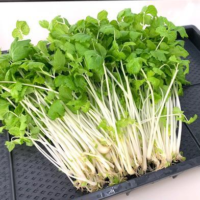 【ホワイトセロリ増量】リサちゃんのフリルレタスとホワイトセロリのセット 7袋×約100 京都府 通販
