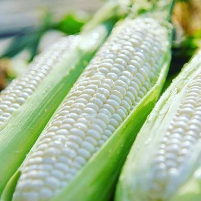 「白とうもろこし」Lサイズ以上10本セット 10本 野菜(とうもろこし) 通販
