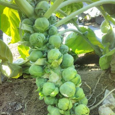芽キャベツ400g☆パチャママ農園 芽キャベツ400g キーワード: 数量限定 通販