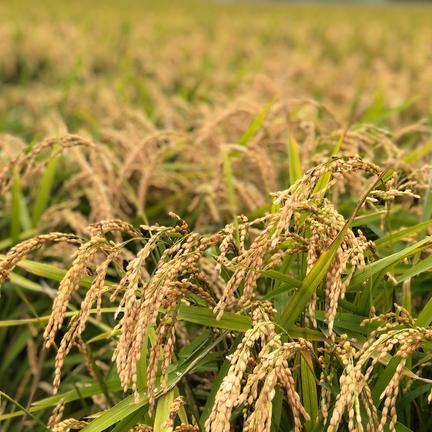 ショクラク 北海道産おぼろづき玄米 10kg