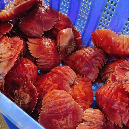 高級天然ウチワエビ❗️ 1セット  果物や野菜などのお取り寄せ宅配食材通販産地直送アウル