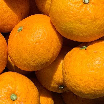 モリノヒト 伊豆白浜産 自然栽培の甘夏 10kg 10kg(24〜28個ぐらい)