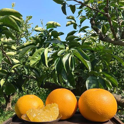 10kg 八朔【はっさく】 10kg 果物や野菜などのお取り寄せ宅配食材通販産地直送アウル