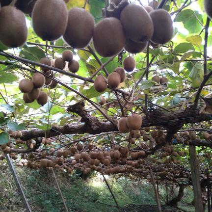 奈良の寒暖差が生み出したキウイフルーツ 約2キロ 果物や野菜などの宅配食材通販産地直送アウル