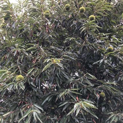 てぶく郎農園の無農薬栽培生栗1Kg 1Kg 果物や野菜などの宅配食材通販産地直送アウル