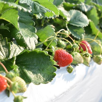 はなまるいちご🍓初収穫!! 500g 果物や野菜などの宅配食材通販産地直送アウル