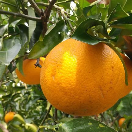 樹上完熟!はっさく  4.5kg  4.5kg  果物や野菜などの宅配食材通販産地直送アウル