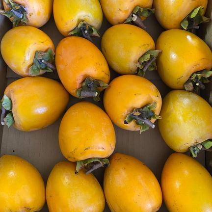 干し柿用愛宕柿4-4.5kg 最終収穫分 4-4.5kg 果物や野菜などの宅配食材通販産地直送アウル