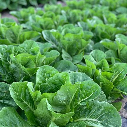 お試し2kg ロメインレタス 2キロ 果物や野菜などの宅配食材通販産地直送アウル