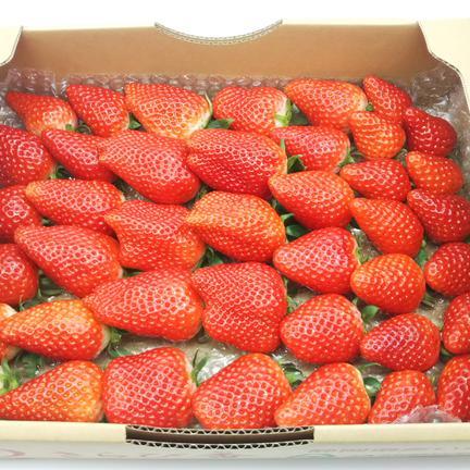 笹原果実 楽しみに待ちたくなる、2つの幸せが入ったイチゴの宝箱!(2品種食べ比べセット) 総重量1500g 1500g(箱や蓋、緩衝材等の重量込)