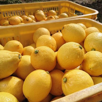 瀬戸内の恵み! 瀬戸田レモン 5kg 果物や野菜などの宅配食材通販産地直送アウル