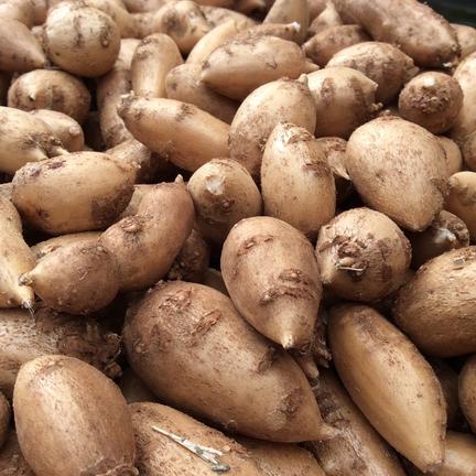 自然薯のくわはら インディアンのスタミナ源!熟成生アピオス 2kg
