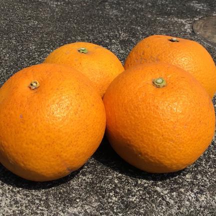 【農薬不使用】酸味が爽やか!初春感じる八朔 はっさく お試し1kg 1kg 果物や野菜などの宅配食材通販産地直送アウル