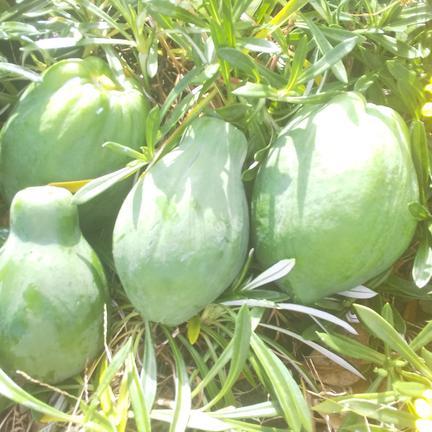 汐田農園 【農カレンダー付き】東京青パパイヤ2キロ(農薬化学肥料不使用) 2キロ