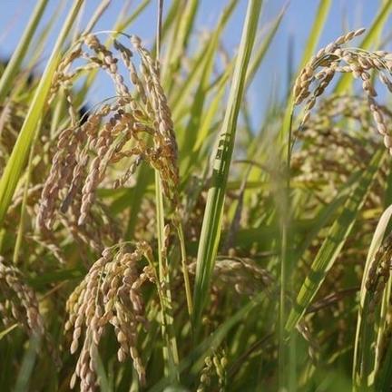 自然薯のくわはら 令和2年産【オーダー後に精米(無洗米)】熊本県球磨郡産 球磨川流域の米(ヒノヒカリ) 10kg