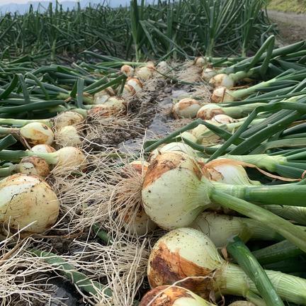 hopewill淡路島 玉ねぎ大国淡路島からの新玉ねぎ4kg🧅特別栽培農産物 新玉ねぎ約4kg