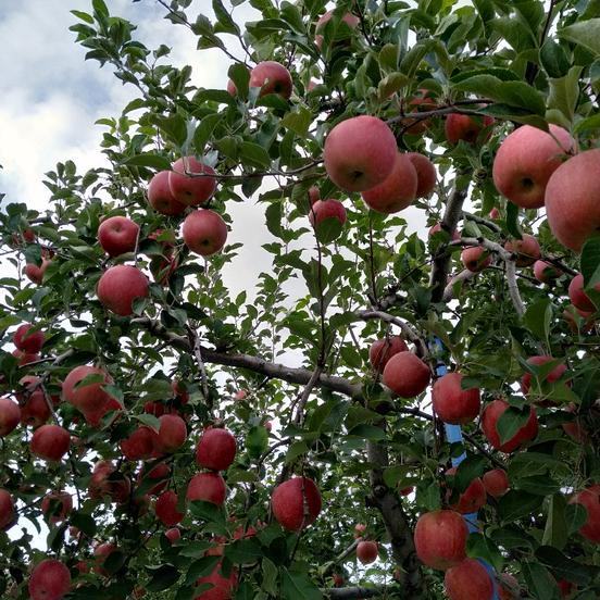 やましげりんご 藤崎町