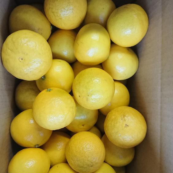 ハウス小夏  家庭用  5㎏ 訳あり 5㎏ 果物や野菜などのお取り寄せ宅配食材通販産地直送アウル
