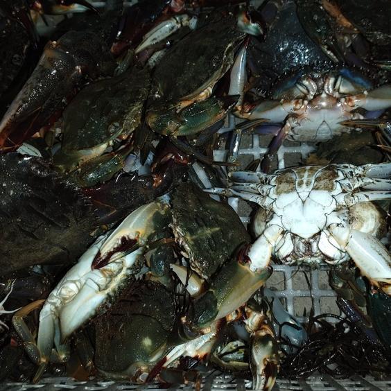 朝取れ鮮魚(イシカニ) 1キロ(6〜10匹) 果物や野菜などのお取り寄せ宅配食材通販産地直送アウル