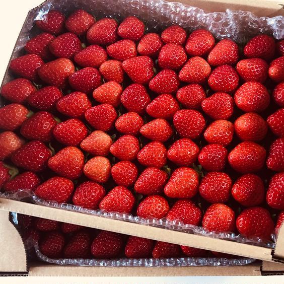キンド酵素栽培いちご「さがほのか」(小粒・奇形)2.2kg 2.2kg 果物や野菜などのお取り寄せ宅配食材通販産地直送アウル