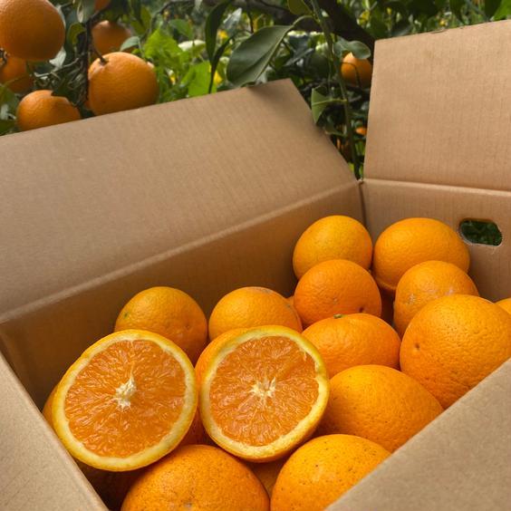マルユー園の清見オレンジ家庭用5kg 5kg 果物や野菜などのお取り寄せ宅配食材通販産地直送アウル