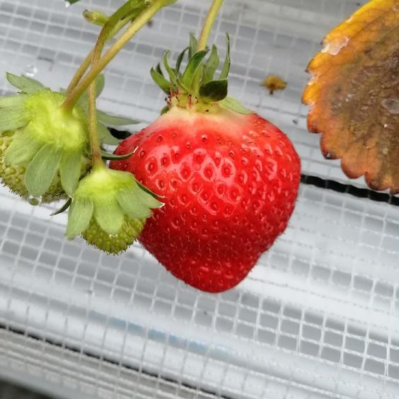 博多あまおう2キロ 2キロ 果物や野菜などのお取り寄せ宅配食材通販産地直送アウル