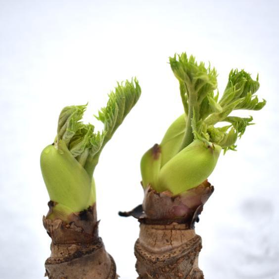 朝採り大粒【タラの芽】300g(12〜20コ) 300g(12〜20コ) 果物や野菜などの宅配食材通販産地直送アウル
