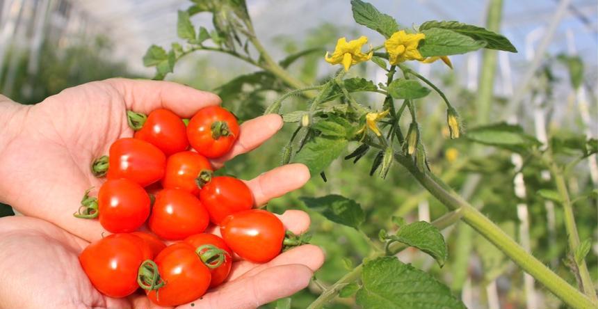 真ごのトマト【坂本農園】 玉名市